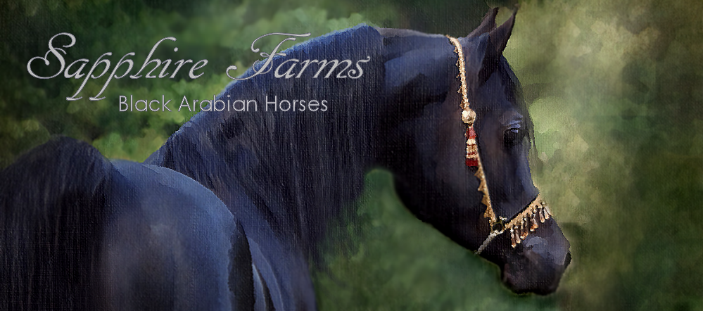 Exotic black Arabian horse